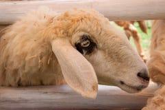 Голова белых овец, Таиланда Стоковые Изображения