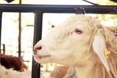Голова белых овец Стоковая Фотография