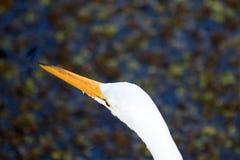 Голова большого белого Egret Стоковое фото RF