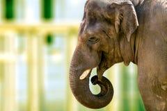 Голова большого животного слона в зоопарке Стоковые Изображения RF