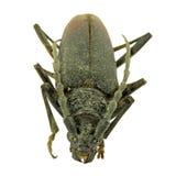 Голова большого жука козерога Стоковое Изображение RF