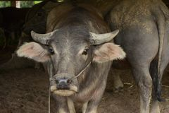 Голова буйвола Стоковое Изображение