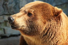Голова бурого медведя (arctos Ursus) Стоковое Фото