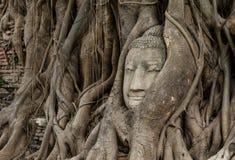 Голова Будды в баньяне стоковое фото