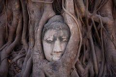 Голова Будды в корнях дерева Стоковые Изображения RF