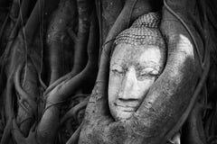 Голова Будды предусматривала корнем дерева в черно-белом тоне Стоковое Изображение