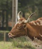 Голова быка на луге утра Стоковые Изображения RF