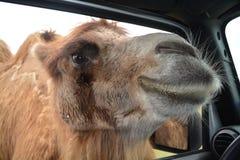 Голова верблюда в окне Стоковые Изображения
