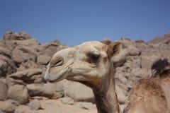 Голова верблюда в пустыне Стоковая Фотография