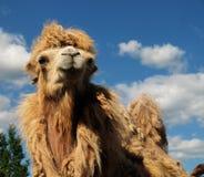 Голова верблюда против неба Стоковая Фотография