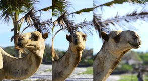 Голова верблюда триптиха Стоковая Фотография RF