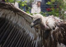 Голова взгляда со стороны хищника Griffon Стоковые Фото