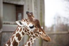 Голова взрослого конца-вверх жирафа Жираф в aviary зоопарка Стоковое Фото