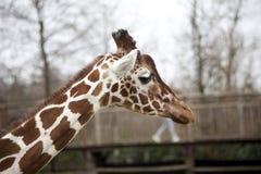 Голова взрослого конца-вверх жирафа Жираф в aviary зоопарка Стоковые Фото