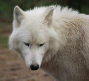 Голова волка залива Гудзона Стоковое Изображение RF