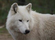 Голова волка залива Гудзона Стоковая Фотография RF