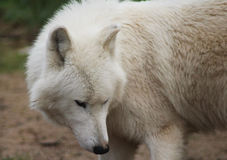 Голова волка залива Гудзона Стоковая Фотография