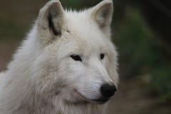 Голова волка залива Гудзона Стоковые Изображения