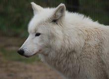 Голова волка залива Гудзона Стоковые Фотографии RF