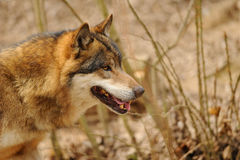 Голова волка Стоковые Фото
