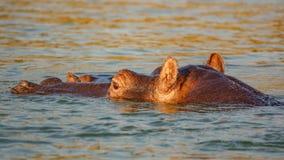 Голова гиппопотама в ручке воды из реки влажного Стоковая Фотография