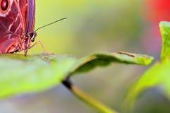 Голова голубой бабочки Morpho, макрос Стоковое Изображение RF