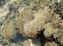 Голова губки моря Стоковое Изображение