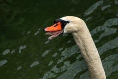 Голова лебедя Стоковые Изображения