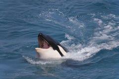 Голова дельфин-касатки Стоковые Изображения