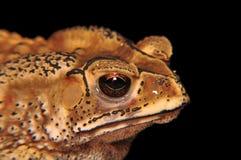 Голова жабы на черноте Стоковое Фото