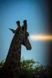 Голова жирафа в заходе солнца Стоковое Изображение RF