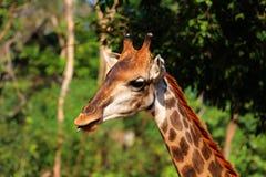 Голова жирафа в зоопарке, Таиланд конца-вверх, Азия Стоковая Фотография