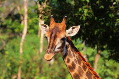Голова жирафа в зоопарке, Таиланд конца-вверх, Азия Стоковые Изображения RF
