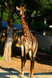 Голова жирафа в зоопарке, Таиланд конца-вверх, Азия Стоковое Изображение RF