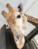 Голова жирафа в зоопарке Стоковое Изображение