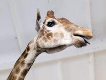 Голова жирафа в зоопарке Стоковая Фотография RF