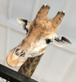 Голова жирафа в зоопарке Стоковые Фотографии RF
