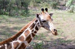 Голова жирафа в парке Стоковая Фотография RF
