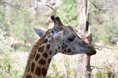 Голова жирафа в парке Стоковые Изображения RF