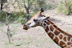 Голова жирафа в парке Стоковое фото RF