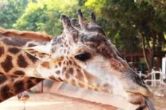 Голова жирафа в природе Стоковые Изображения