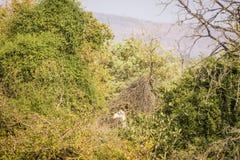 Голова жирафа в середине джунглей, в парке Kruger, Южная Африка Стоковые Изображения