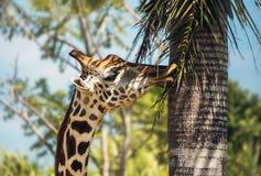 Голова жирафа есть листья на длинной шеи на предпосылке запачканных деревьев на солнечный день Горизонтальная рамка Стоковое Изображение RF