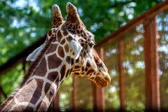 Голова жирафа дикого животного в зоопарке Стоковое Изображение
