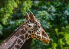 Голова жирафа дикого животного в зоопарке Стоковые Изображения