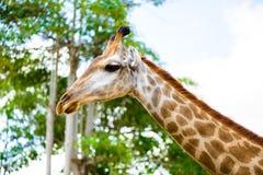 Голова жирафа крупного плана Стоковое Изображение
