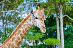 Голова жирафа крупного плана Стоковые Изображения