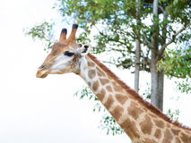 Голова жирафа крупного плана Стоковое фото RF