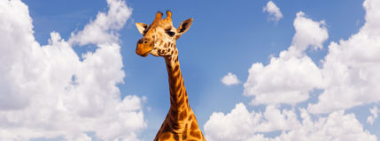 Голова жирафа над предпосылкой голубого неба и облаков Стоковое Фото
