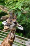 Голова жирафа Стоковое Изображение